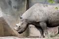 Black Rhino - PhotoDune Item for Sale