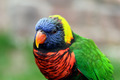 Lorikeet - PhotoDune Item for Sale