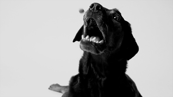 Dog Catching a Treat in Slow Motion Black & White
