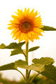 Sunflower - PhotoDune Item for Sale