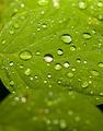 Rain drops on leaf   - PhotoDune Item for Sale