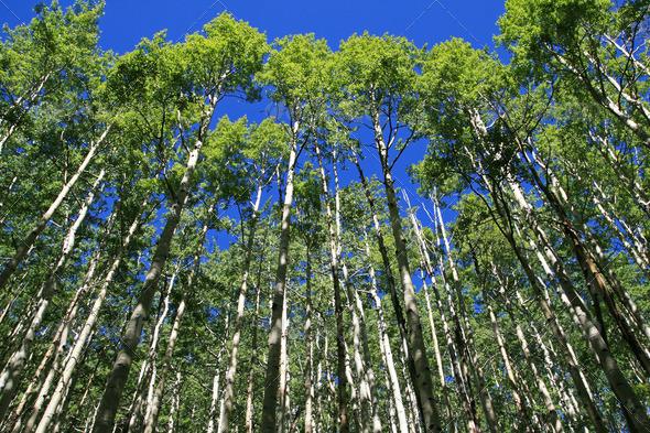 spring aspen grove - Stock Photo - Images