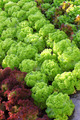 Lettuce 02 - PhotoDune Item for Sale