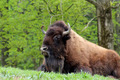 American Bison - PhotoDune Item for Sale