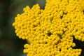 Yellow Yarrow Closeup - PhotoDune Item for Sale