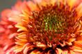 Coneflower Closeup - PhotoDune Item for Sale