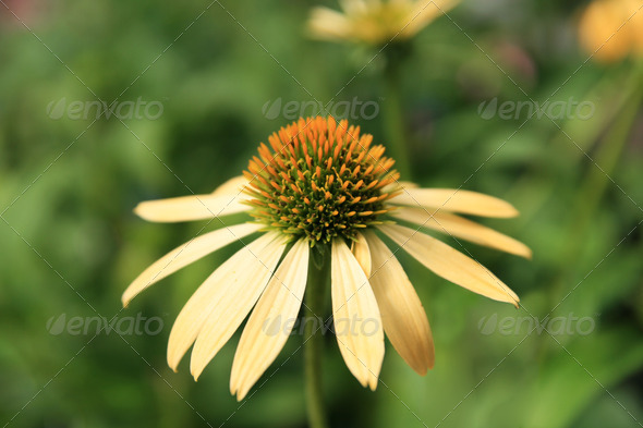 yellow echinacea flower - Stock Photo - Images