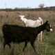 Goats in a Field - VideoHive Item for Sale