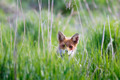 Curious Fox Peeking in the Grass - PhotoDune Item for Sale