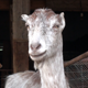 Goat Close Up - VideoHive Item for Sale