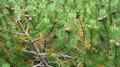 Mountain Pine - PhotoDune Item for Sale