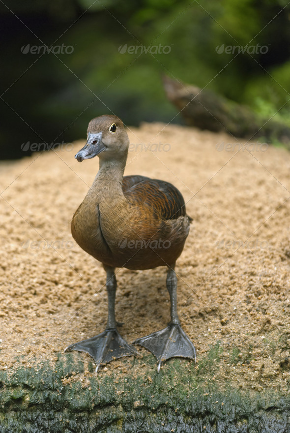 Curious Little Duck - Stock Photo - Images