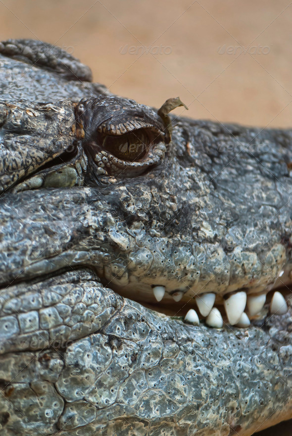Crocodile - Stock Photo - Images