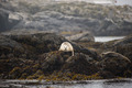 White sealion lying on top of rocks - PhotoDune Item for Sale