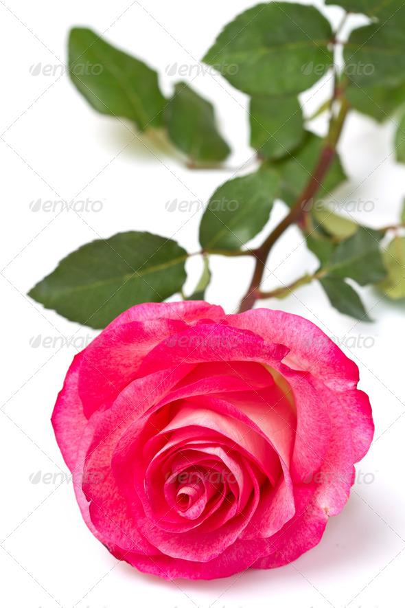 PhotoDune pink roses 3795001
