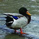 Ducks On The River - VideoHive Item for Sale