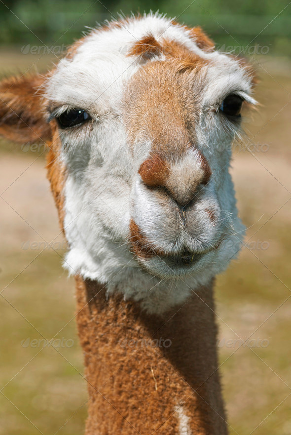 Lama - Stock Photo - Images
