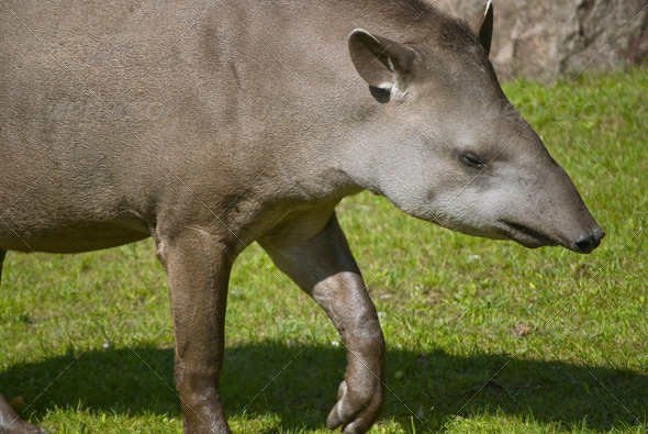 South American Tapir - Stock Photo - Images