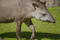 South American Tapir - PhotoDune Item for Sale