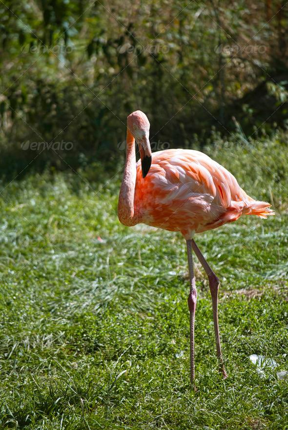 Flamingo - Stock Photo - Images