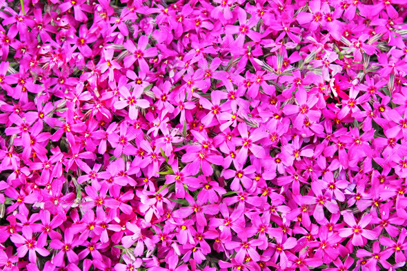 PhotoDune real pink flowers background 3814773