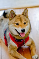 Shiba Inu Dog - PhotoDune Item for Sale