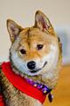 Shiba Inu Dog - PhotoDune Item for Sale