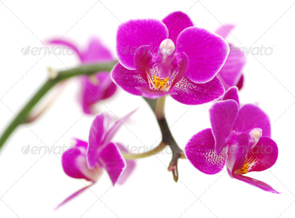 PhotoDune Pink orchid 3815157
