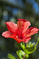 Red Hibiscus - PhotoDune Item for Sale