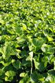 Gotu Kola Ayurvedic Herb Plantation - PhotoDune Item for Sale