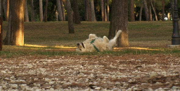 Golden Retriever Romping in the Park