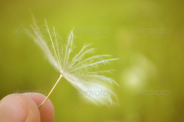 Fuzz of dandelion in a fingers - Stock Photo - Images