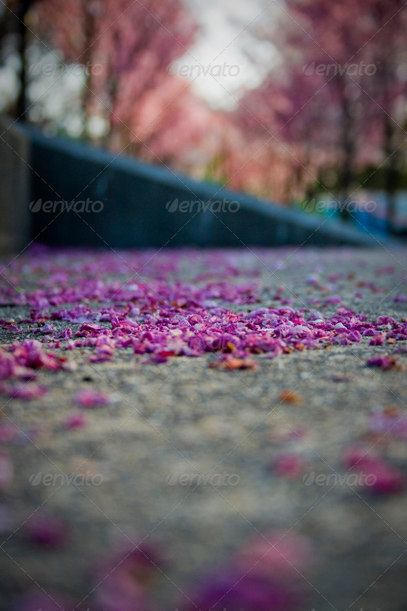 Stock Photo - PhotoDune Beautiful Fallen Sakura Cherry Blossoms 411779