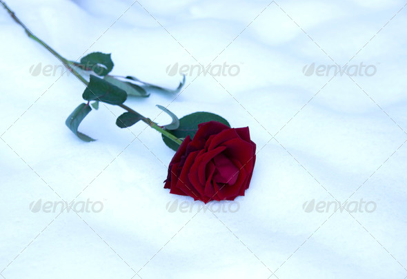 PhotoDune valentine card with res rose in snow 3825180