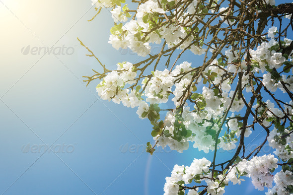 PhotoDune Blooming Apple Tree Branch In Spring Over Blue Sky 3826781