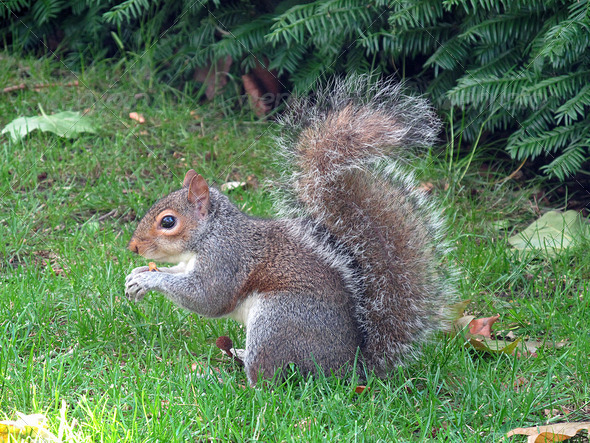 PhotoDune Grey Squirrel x 3826749