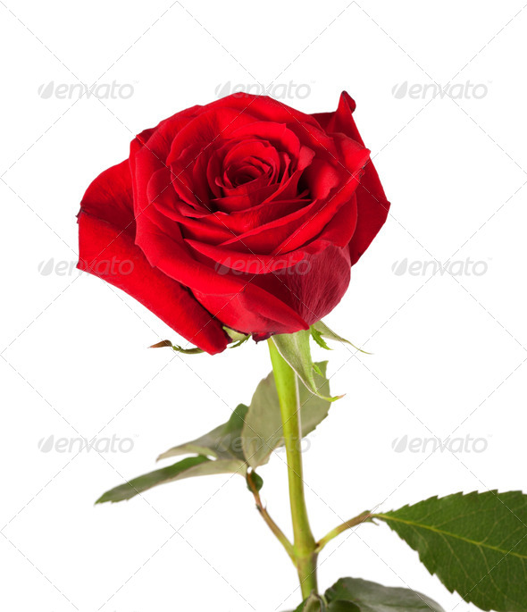 Red rose bud on white background - Stock Photo - Images