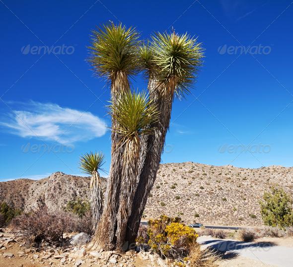 Joshua tree - Stock Photo - Images