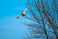 Red Tail Hawk - PhotoDune Item for Sale