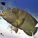 Napoleon Fish On Coral Reef 5 - VideoHive Item for Sale
