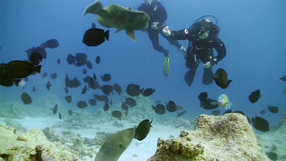 Napoleon Fish And Divers On Coral Reef