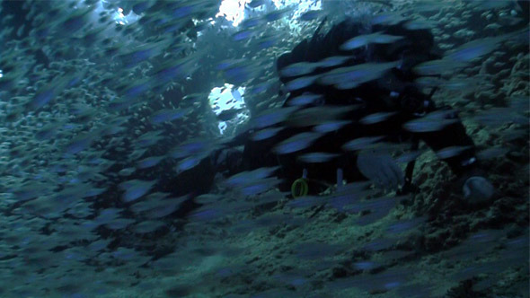 Huge Shoal Fish On Coral Reef