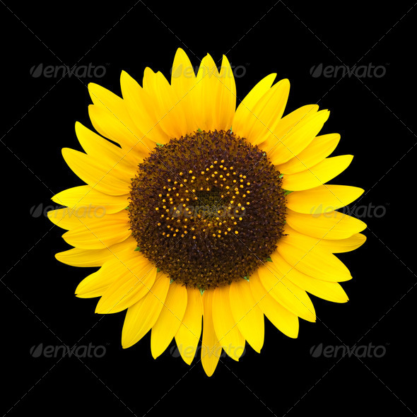 PhotoDune Sunflower isolated on black background with clipping path 3838466