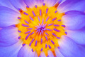 close up of a water lily - PhotoDune Item for Sale