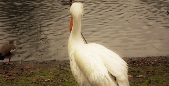 Pelican In St James s Park