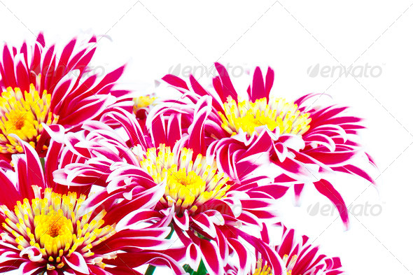 PhotoDune Red Chrysanthemum 3854085