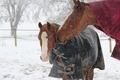 Snowy Horse Family - PhotoDune Item for Sale