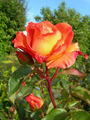 Orange rose in garden - PhotoDune Item for Sale