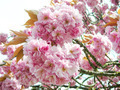 Pink Japanese cherry blossoms - PhotoDune Item for Sale
