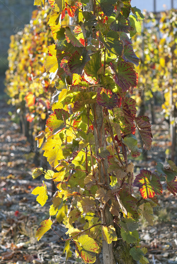 Grape Field - Stock Photo - Images